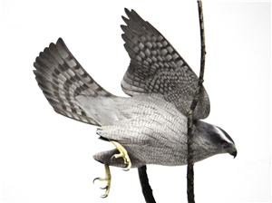 MINIATURE NORTHERN GOSHAWK