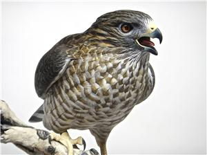 LIFE-SIZE BROAD-WINGED HAWK